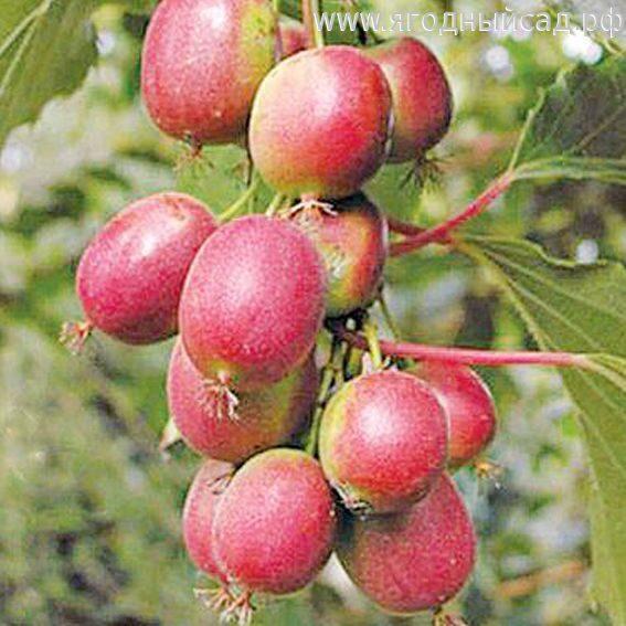 Саженцы оптом. Питомник плодовых деревьев Школьный сад